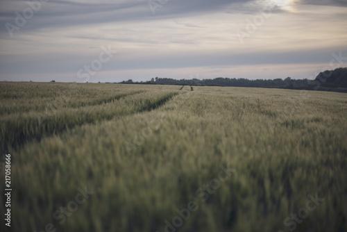 Staande foto Donkergrijs tracks through wheat field