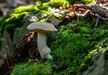 Two Wild Mushrooms Amid Moss