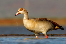 Egyptian Goose Wading In A Pon...