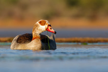 Egyptian Goose Swimming In A Pond In Zimanga Game Reserve In South Africa