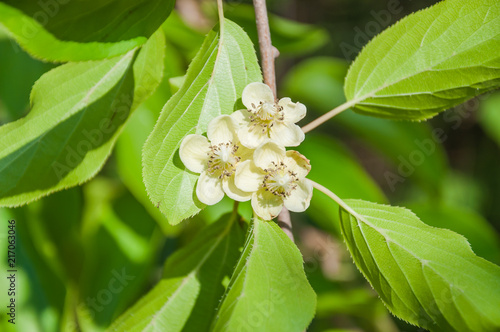 Female flowers of perennial vine Actinidia arguta, or hardy kiwi Canvas Print