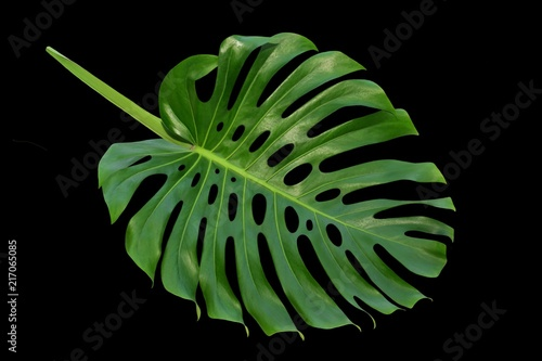 Monstera large leaf, tropical climbing vine, Swiss Cheese