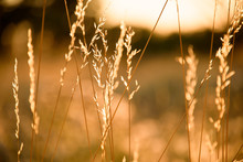 Silhouettes Of Grass On A Background Sunset.