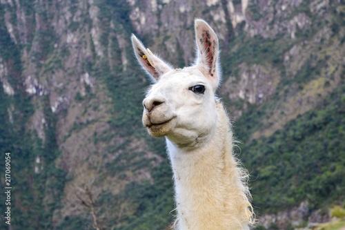 Staande foto Lama Llama portrait