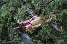 Closeup Of A Cedar Tree That H...
