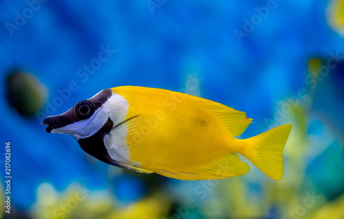 side view of a Foxface rabbitfish