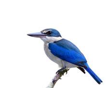 Exotic Blue And White Bird With Large Beak And Big Eyes Perching On Bamboo Stick Isolated On White Background, Collared Kingfisher (Todiramphus Chloris)