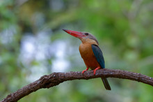 Stork-billed Kingfisher ; Pela...