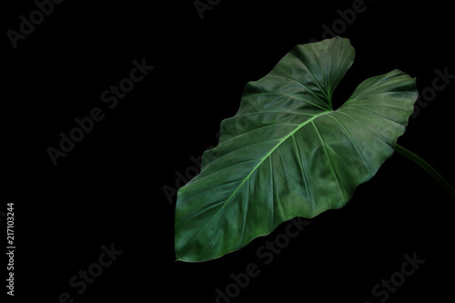 Heart Shaped Dark Green Leaf Of Philodendron Tropical
