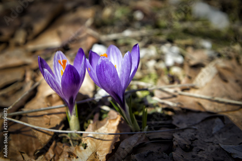 Fotobehang Krokussen close up of beauty violet crocus