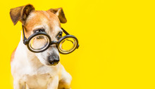 Curious Serious Cute Dog Jack Russell Terrier In Glasses On Yellow Background. Horizontal Banner. Back To School Theme