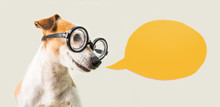 Smart Nerd Dog Jack Russell Terrier In Glasses And Speech Bubble. Gray And Orange. Talking Pup