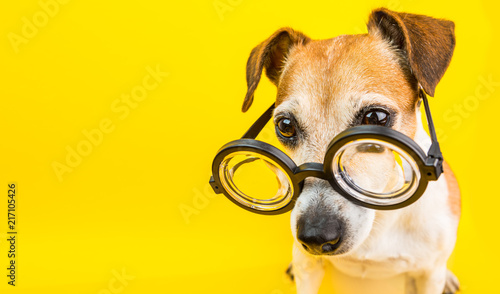 Smart dog in glasses on yellow backgeound. Horizontal banner. Back to school theme. Funny lovely pet