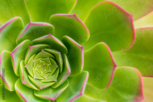 Succulent plant aeonium arboreum closeup, background.