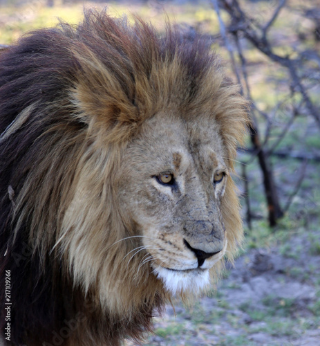 Foto op Plexiglas Leeuw A close-up photo of a lion taken in botswana with the lion looking directly towards a heard of water buffallo.