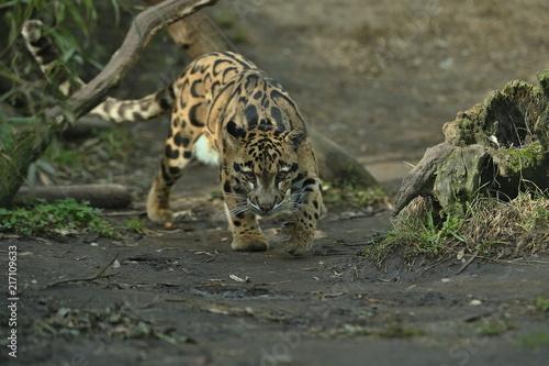Fototapeta premium Pantera mglista idzie z cienia do światła. Duży kocur z ciemności. Zoo w Czechach. Neofelis nebulosa. Bardzo rzadkie stworzenie.