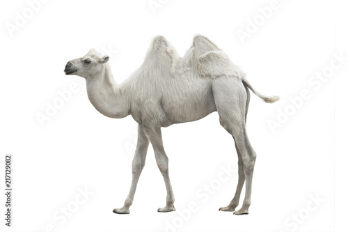Staande foto Kameel white camel isolated