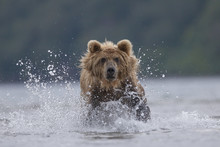 Brown Bear (Ursus Arctos), Hun...