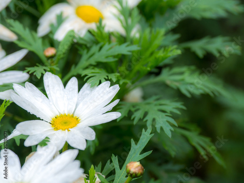 Foto op Canvas Madeliefjes Selective and soft focus of white Daisy flower and yellow stamen white green leaves