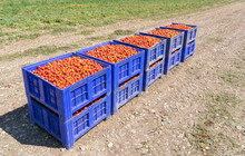 Freshly Picked Red Tomatoes In Big Plastic Boxes On The Field.