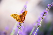 Orange Butterfly On Blooming Lavender.