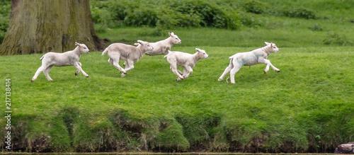 Fototapeta 5 gambling lambs