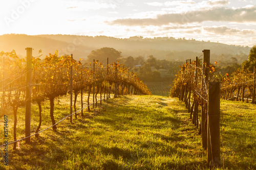 Fotobehang Toscane Grape vines heading downhill in bright afternoon sunlight