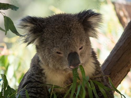 Staande foto Koala Koala in Australia