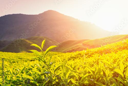 Foto auf AluDibond Gelb Tea plantation in Cameron highlands, Malaysia