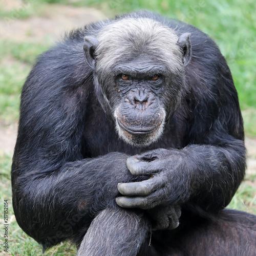 Fotografie, Obraz  Chimpanzee close-up portrait
