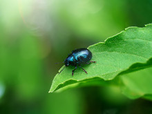Macro Image Of Blue Bug On Leaf.