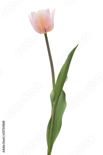 Foto op Plexiglas Tulp One pink tulip flower isolated on white background. Still life, wedding. Flat lay, top view