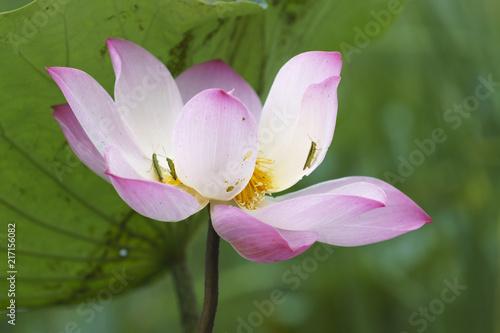 Foto op Canvas Lotusbloem The pink lotus is surrounded by green lotus leaves.