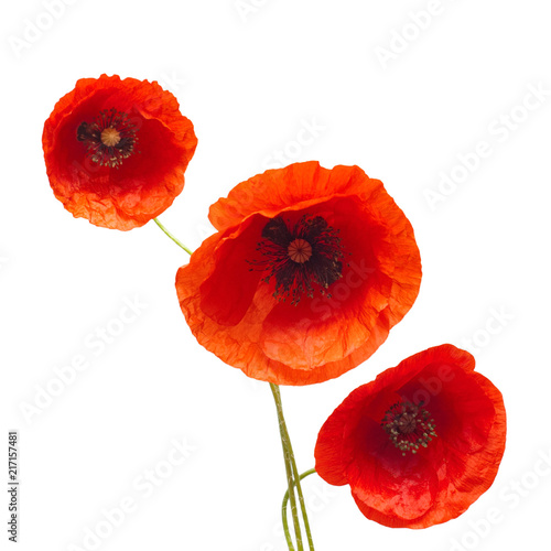 Fototapety, obrazy: Bouquet wild red poppy flower isolated on white background. Flat lay, top view