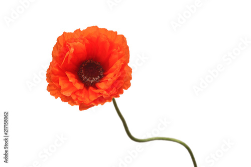 Poster Poppy Beautiful red flower poppy isolated on a white background. Unusual curved shape of the stem. Flat lay, top view