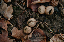 Puffball Fungi And Leaves On The Forest Floor