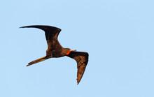 Magnificent Frigate Bird In Fl...