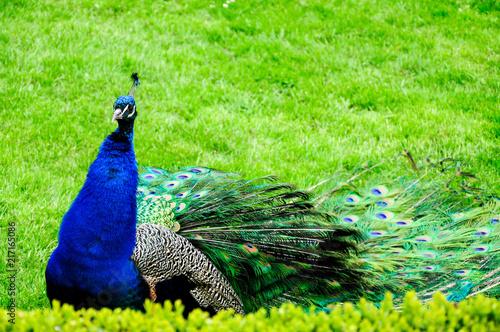 Fotobehang Pauw Peacock in a green garden