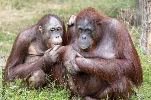 Orangutang mother and son