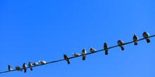 Many Pigeons Sitting On The Wire.
