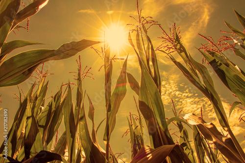 Fotografie, Obraz  Trockener Sommer im Maisfeld