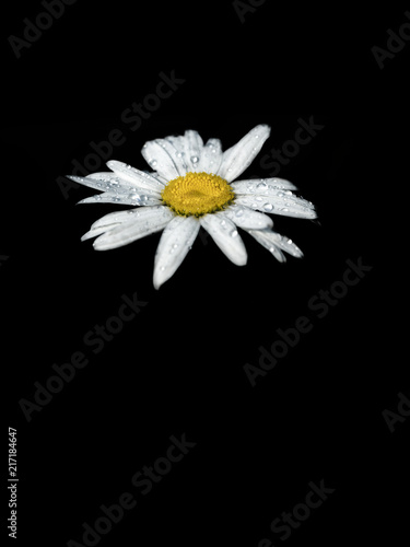 Foto op Plexiglas Madeliefjes Close up of Oxeye daisy (Chrysanthemum leucanthemum) with raindrops on white petals on black background