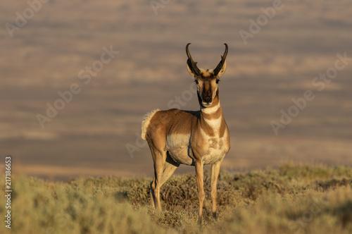 Foto op Plexiglas Antilope Pronghorn Antelope Buck