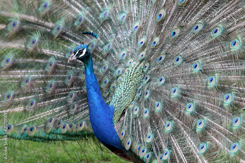 Foto op Aluminium Pauw Peacock close-up portrait