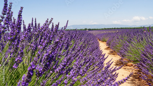 Fotobehang Lavendel Champs de lavande Provance