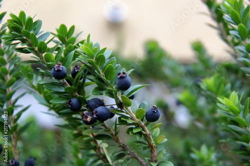 Fototapeta bacche nere di mirto tipico per liquore della Sardegna, Italia obraz
