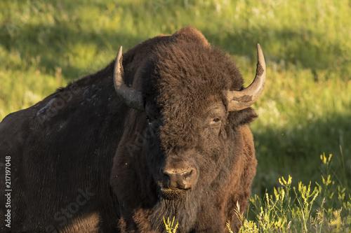 Foto op Aluminium Bison Bull bison resting in early morning; Custer S.P.; South Dakota