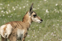 Pronghorn Antelope Fawn On The...