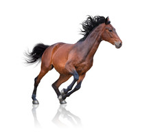 Bay Horse Galloping On The White Background