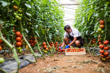 Male Farmer Picking Fresh Tomatoes In Box From His Hothouse Garden